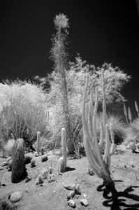 Near Infrared Photography, Univeristy of California Riverside Botanic Garden.