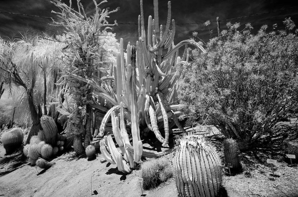 Near Infrared Photography-University of California Riverside Botanic Gardens, Sonoran Succulents.