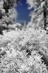 Near Infrared Photography, University of California Riverside Botanic Garden.