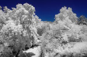 Near Infrared Photography, Univerisity of California Riverside Botanic Garden.